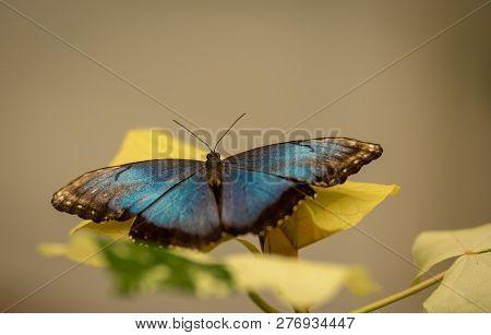 Morpho Butterfly Sitting On Leaves