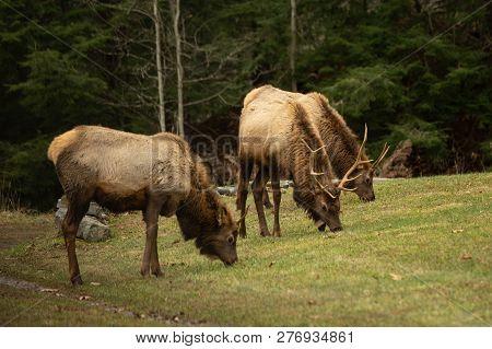 Small Elk Herd Grazing