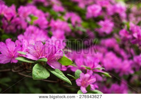 Azalea. Bright And Juicy Flowers On The Azalea Bush. Floral Background With Beautiful Flowers.