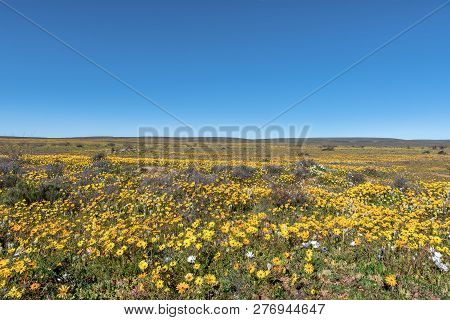 A Field Of Yellow Wildflowers At Matjiesfontein Near Nieuwoudtville In The Northern Cape Province Of