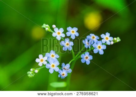 Macro Of Tiny Blue Flowers  Forget-me-not  And Colorful Grass Background In Nature. Close Up.