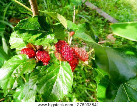 Mulberry Fruit And Green Leaves On The Tree. Mulberry This A Fruit And Can Be Eaten In Have A Red An