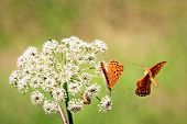 Close up of two orange butterflies. One butterfly is flying around the other one that is standing on the white flower that is growing on the meadow. poster