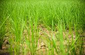 Arid green rice field Cracked ground dry land during the dry season in rice field agriculture area natural disaster damaged agriculture - soil dry mud arid poster