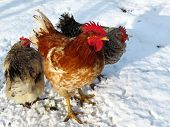 Chickens on the snow, winter weather. Red rooster and speckled hens on free range farm, poultry concept poster