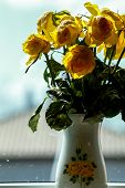 Wilted yellow roses in vase in window light. Vase with yellow roses. Flowers at the window. Yellow roses in vase at the window. poster