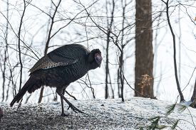 Looking Much Like A Vulture, An Eastern Wild Turkey Meleagris Gallopavo Silvestris Hens Gathering To