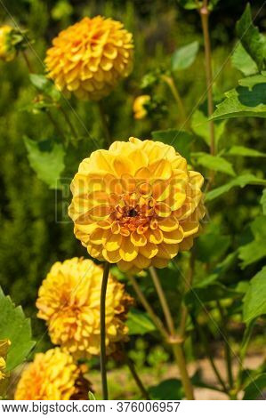Yellow Pom Pom Dahlias, Also Known As Ball Dahlia, A Member Of The Asteraceae Family, Growing In Fri
