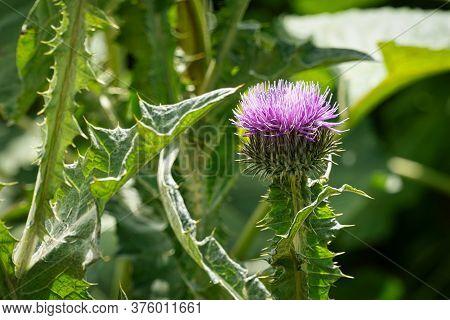 Milk Thistle Purple, Close Up Of Wild Flower In Bloom