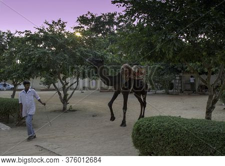 Jaipur, India - October 20, 2012: A Man Pulling His Hitched Domestic Camel With Rope Before A Sunset