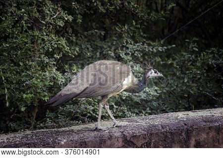 Indian Peafowl, A Species Of Phasianidae Taking A Walk On A Cliff Located In Jaipur City Forest On A