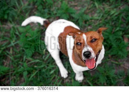 Puppy Jack Rassel Terrier In Autumn Leaves On Green Grass. Autumn Mood. Selective Focus. Jack Russel