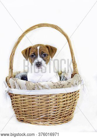 Cute Male Puppy Jack Russell Terrier Sitting In An Easter Basket. Vertical Format. Greeting Card.