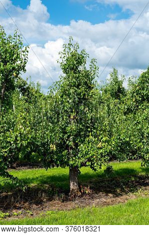 Green Organic Orchards With Rows Of Conference Pear Trees With Ripening Fruits In Summer