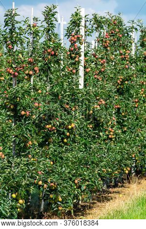 Green Organic Orchards With Rows Of Apple Trees With Ripening Fruits In Summer