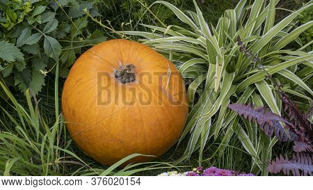 Orange Pumpkins At Outdoor Farmer Market. Pumpkin On The Green Grass In The Farm. Ripe Orange Pumpki