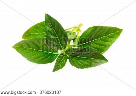 Sprig Of Green Basil On A White Background Isolate. Copy Space, Close Up,