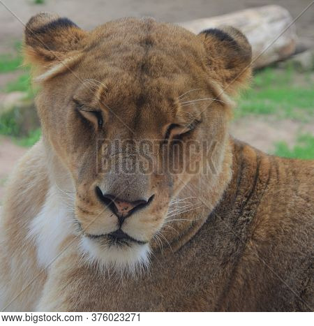 Close-up Face Of A Sleeping Lioness Animal