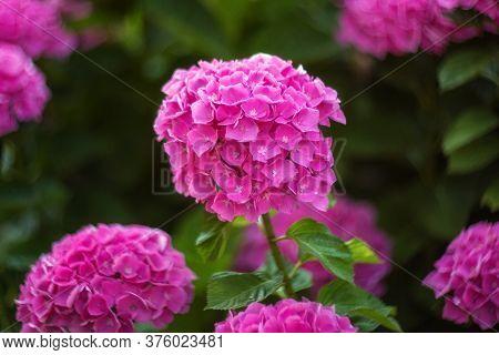 Pink Hydrangea Bush. Gorgeous Hydrangea Bright Pink Blooms In The Garden In Summer. Hydrangea Close-