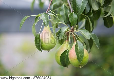 Ripening Pears On A Tree In The Garden On The Farm. Organic Farming. Ripe Sweet Pear Fruits Growing
