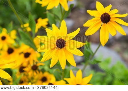 Yellow Flowers Of Rudbeckia. Flowers Of Rudbeckia Fulgida, The Orange Coneflower Or Perennial Conefl