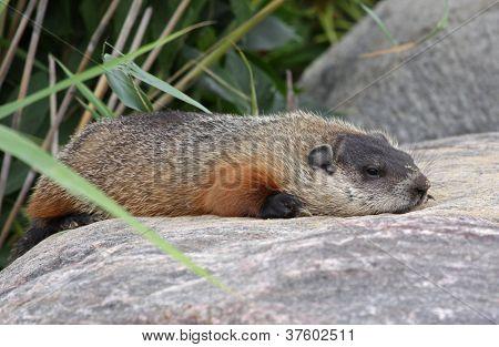 Resting Groundhog