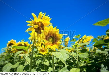 It Brings Joy To See Sunflower Field By The Road; Photos With Yellow Energy