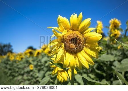 It Brings Joy To See Sunflower Field By The Road; Photos With Yellow Energy On The Sunflower Field
