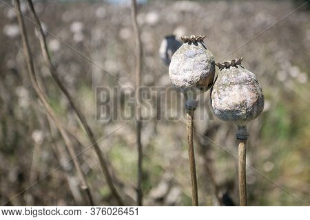 Dry Poppy Flower Heads On The Field; Ready For The Harvest