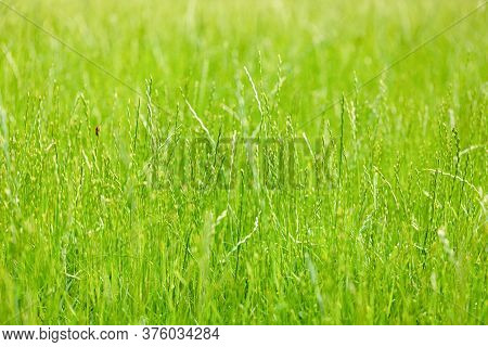Background Of Overgrown Lawn Grass With Seeds. Selective Focus