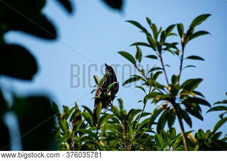 The Red-vented Bulbul Is A Member Of The Bulbul Family Of Passerines.this Photo Has A Great Backgrou