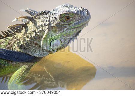 Pets Iguana Head Close-up. It Was Taken By The Lake. He