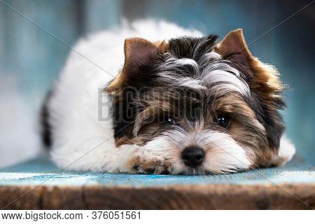puppy dog Biewer Yorkshire Terrier