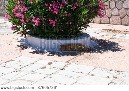 Red Haired Lazy Cat Is Lying In Shodowa Of A Big Pot With Blooming Pink Oleander Flowers On Summerti