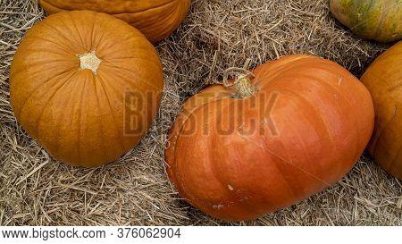 Many Ripe Pumpkins Lie On The Straw. Orange Pumpkins Lies On Hay Bales. Farm Green Product. Autumn S