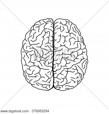 Vector, Anatomical Brain. Realistic Brain Illustration Isolated On White Background. Vector Medical