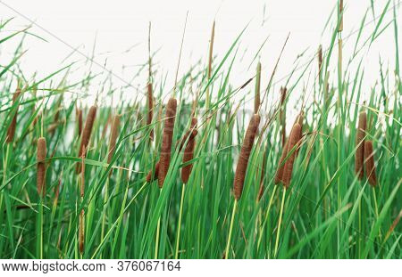 Typha Angustifolia Field. Green Grass And Brown Flowers. Cattails Isolated On White Background. Plan
