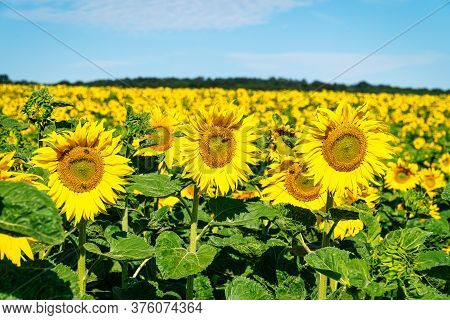 Sunflower Close Up, Beautiful Yellow Flower Head On Agriculture Field