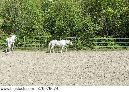 White Trotters. Two White Horses Walk In The Summer On A Ranch. Horse Paddock.