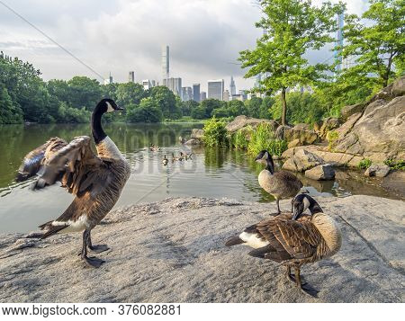 Central Park, New Yoprk City Summer At The Lake With Canadian Geese