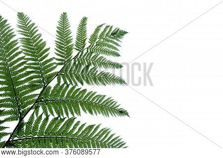 Tropical Fern Leaves On White Isolated Background For Green Foliage Backdrop And Copy Space