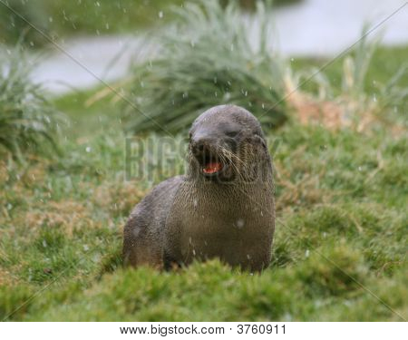 Fur Seal Crying In The Snow