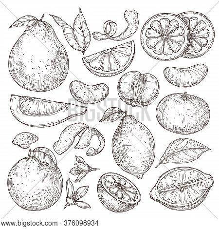 Citrus Fruits Sketch. Hand Drawn Orange Mandarin Pomelo, Isolated Tropical Juicy Plants. Vintage Lem