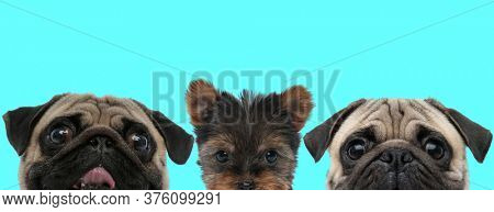 little Shih Tzu dog standing between a scared Pug dog and a happy Pug dog sticking out tongue and fooling around on blue background