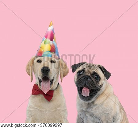 team of two happy dogs, labrador retriever and pug, wearing birthday hat and bowtie, panting and sticking out tongue on pink background
