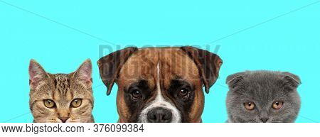 cute Scottish Fold cat, Boxer dog and metis cat are standing side by side and looking at camera on blue background