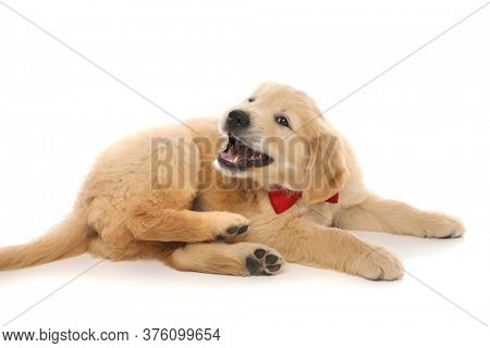 golden retriever dog lying down, barking and wearing a red bowtie on white studio background