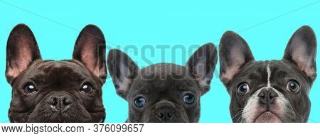 three French Bulldog dogs are standing side by side and looking at camera with big humble eyes on blue background