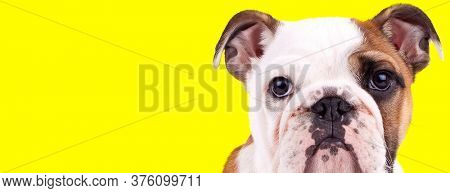 Bothered English Bulldog cub looking forward on yellow studio background