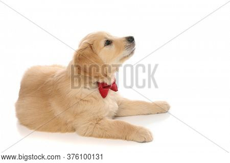 side view of a cute baby golden retriever dog lying down, wearing a red bowtie and looking up at something that made him curious on white studio background